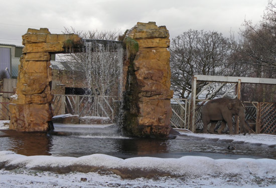 a snowy elephant at chester zoo